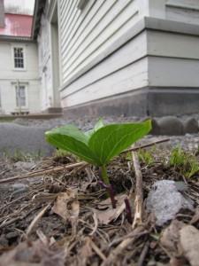 オオバナノエンレイソウの芽出の写真