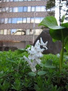 エゾエンゴサク(白花種)